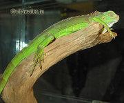 ИГУАНА зелёная 1800 грн.