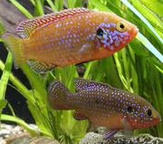 рыбки Хемихромис красный или красная цихлида