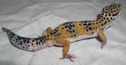 Продам леопардового геккона эублефар