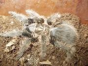 Продам пауков птицеедов