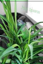 Продам зеленую игуану (зеленая игуана)