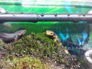 Тритон крокодиловый / tylototriton verrucosus