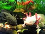 Звере-рыбка, первобытная амфибия,  водяной дракон - Аксолотль!
